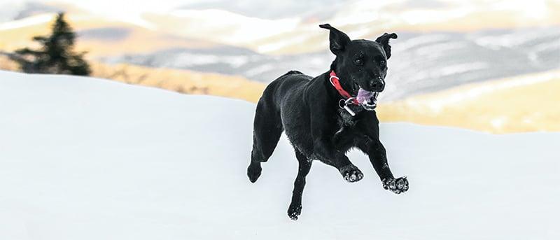 black dog running through snow in park city utah